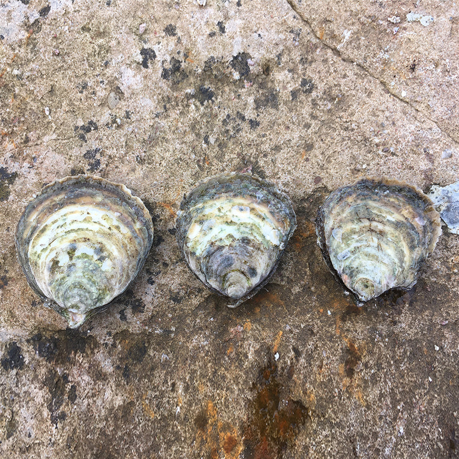Our Native European Flat Oyster (Gaelic: Eisear Oir - Gold Oyster) grown on our farm in An Loch Beag (Little Loch Broom), Wester Ross, Scotland.
