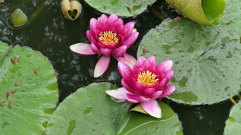 Lotus Flowers in Korea