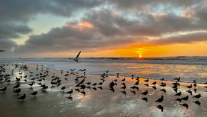 Gulls at Sunset on San Gregorio State Beach CA