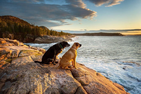 Two puppies overlooking a breath taking view at Acadia National Park, Maine .