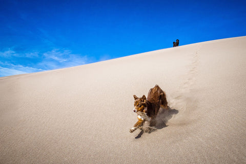The happiest puppy running down a sand dune at Great Sand Dunes National Park, Colorado .