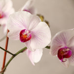 Four Spike Colored Phalaenopsis Orchid
