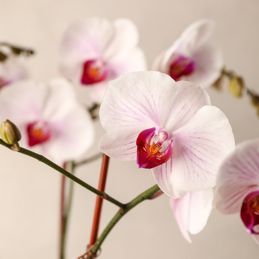 Deluxe Double-Spike Color Phalaenopsis Orchid Jardiniere Flowers Portsmouth New Hampshire Seacoast New Hampshire Maine Wedding Retail Events Home WhiteOrchid NewEngland Flowers Plants Florist Order Online White Pink Purple Potted Plant Small Business Woman-Owned