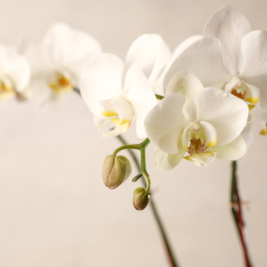 Double-Spike White Phalaenopsis Orchid Jardiniere Flowers Seacoast New Hampshire Maine Wedding Retail Events Home WhiteOrchid NewEngland Flowers Plants