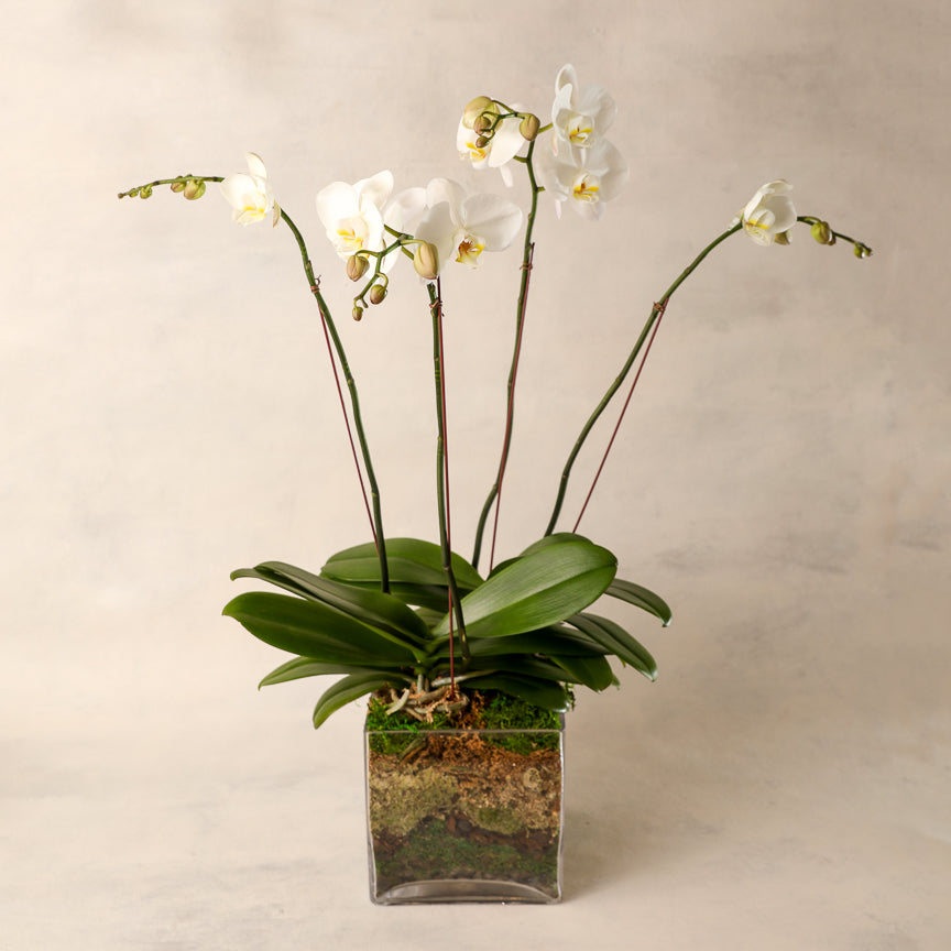 Signature White Four Spike Phalaenopsis Orchid