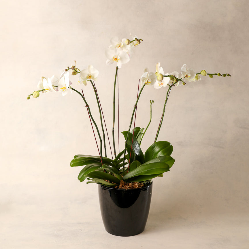 Deluxe Double-Spike White Phalaenopsis Orchid Jardiniere Flowers Portsmouth New Hampshire Seacoast New Hampshire Maine Wedding Retail Events Home WhiteOrchid NewEngland Flowers Plants Florist Order Online