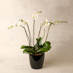 Luxe Signature White Phalaenopsis Six Spike Orchid