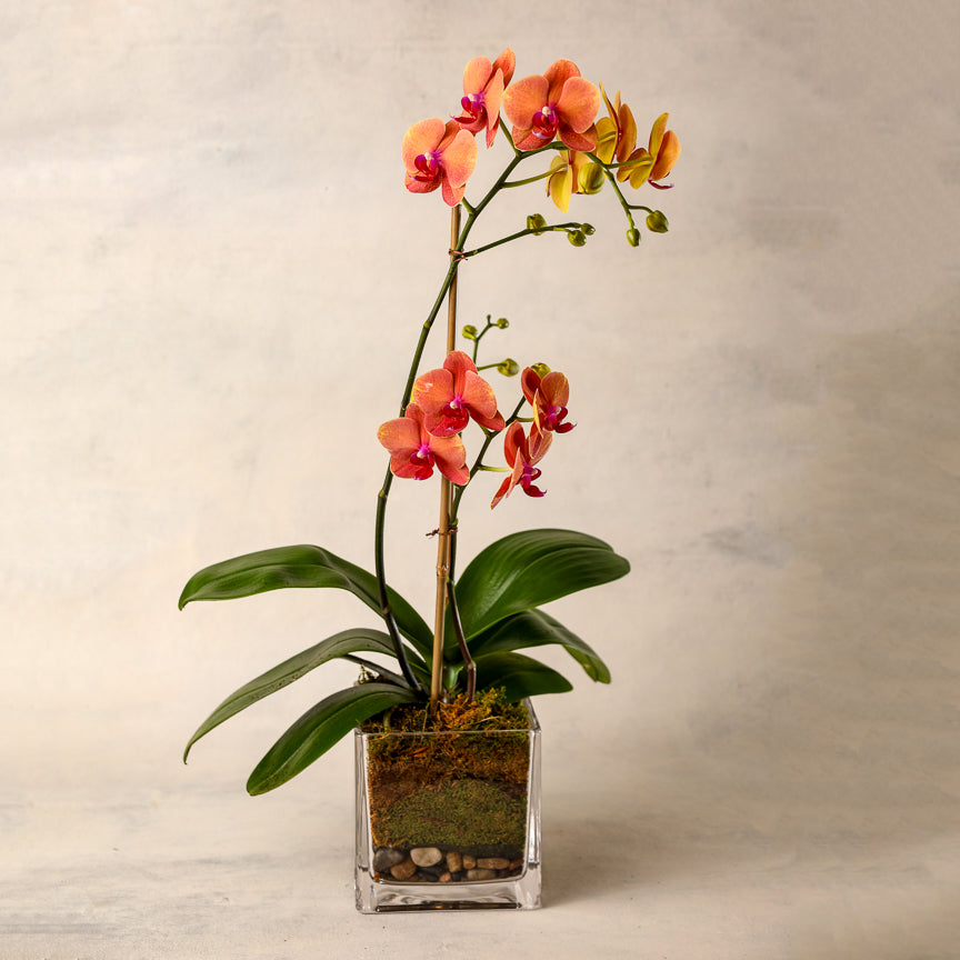 Colored Phalaenopsis Double Spike Orchid
