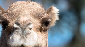 Camel Myths Busted