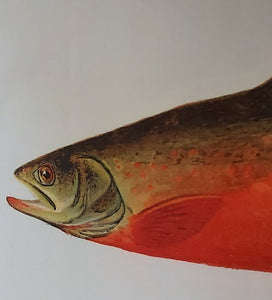 Canadian Red Trout Tea Towel Antique Print UK made