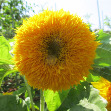Load image into Gallery viewer, Teddy Bear Sunflower Seeds