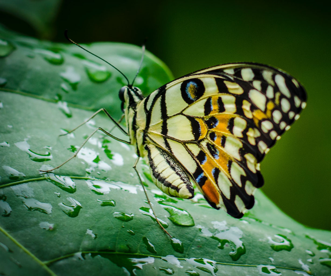 How Does Rain Affect Butterflies?
