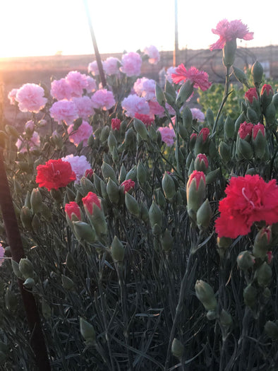 Carnations in the spring