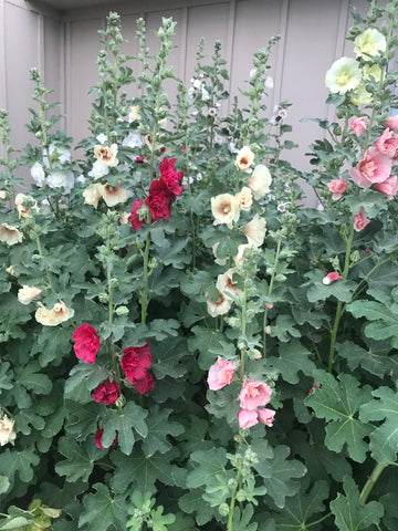 Hollyhocks at the farm