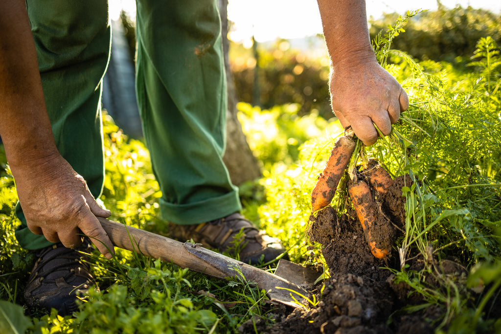A man using a shovel to pull carrot roots out of the soil representing regenerative agriculture