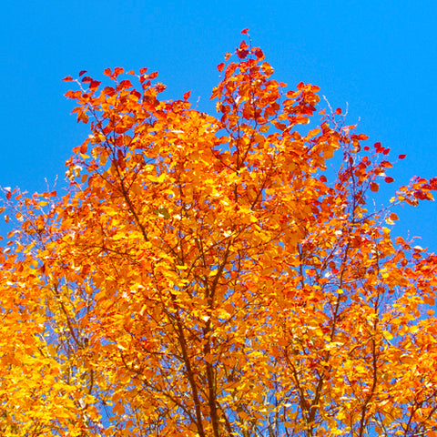 Ornamental Pear Tree fall colors image.