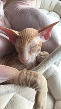 Load image into Gallery viewer, Ear Care - Perfetto Peterbald