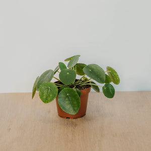 Friendship Plant Pilea