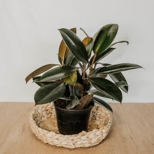 "Rubber Plant ""Burgundy"""