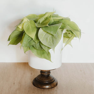 "Philodendron Lemon Lime ""Wide Form"""