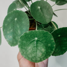 Load image into Gallery viewer, Friendship Plant Pilea