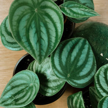 Load image into Gallery viewer, Watermelon Peperomia