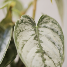 Load image into Gallery viewer, Philodendron brandtianum