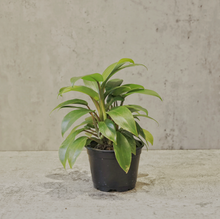 "Load image into Gallery viewer, Philodendron ""Eva"""