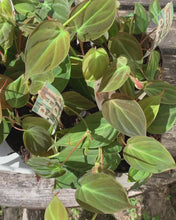 Load and play video in Gallery viewer, Philodendron Scandens Micans