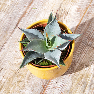 Agave (3 types)