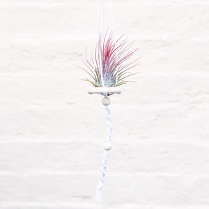 Tillandsia 'Air Plant' & Macramé Holder