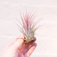 Load image into Gallery viewer, Tillandsia 'Air Plant' & Macramé Holder
