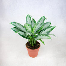 Load image into Gallery viewer, Aglaonema 'Jubilee Compacta' (Chinese Evergreen)