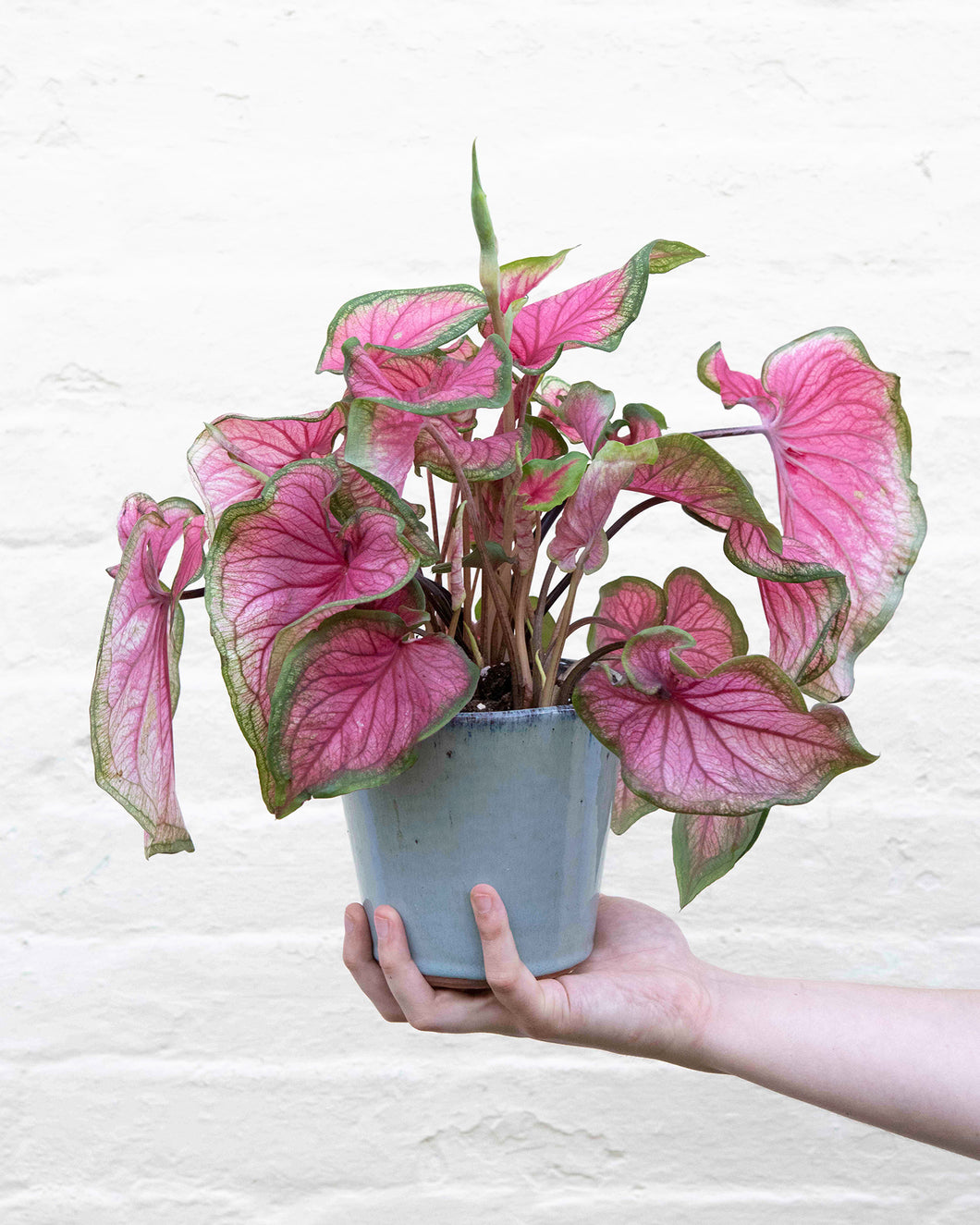 #03 Caladium Sweetheart
