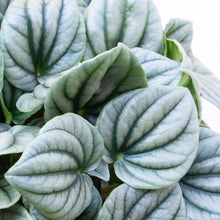 Load image into Gallery viewer, Peperomia 'Moonlight'