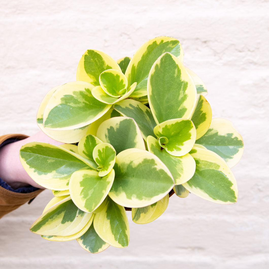 Peperomia Obtipan Bicolor (Variegated)