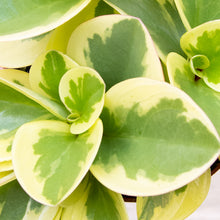 Load image into Gallery viewer, Peperomia Obtipan Bicolor (Variegated)