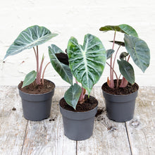 Load image into Gallery viewer, Alocasia Collectors Set