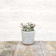 Load image into Gallery viewer, Tradescantia Zebrina 'Silver Inch Plant'