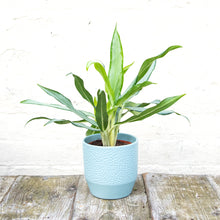 Load image into Gallery viewer, Aglaonema 'White Lance' (Chinese Evergreen)