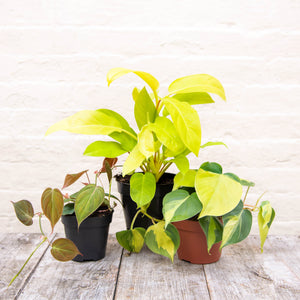 Philodendron Dream Team