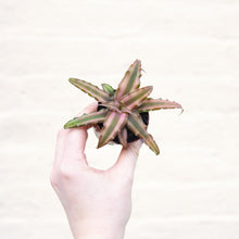 Load image into Gallery viewer, Cryptanthus 'Earth Stars'