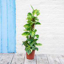 Load image into Gallery viewer, Epipremnum Aureum (Golden Pothos) Moss Pole