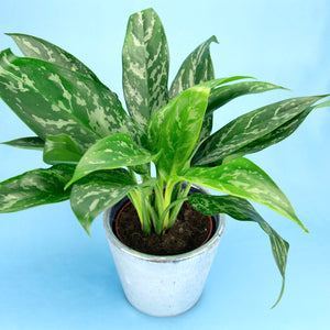 Aglaonema 'Gemini' (Chinese Evergreen)