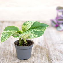 Load image into Gallery viewer, Baby Epipremnum Aureum (Marble Queen Pothos)