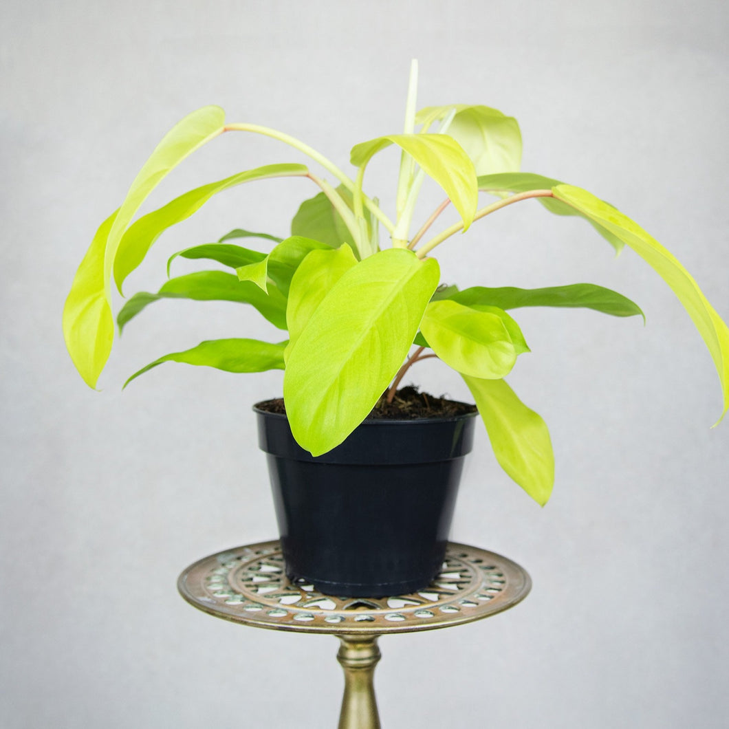 Philodendron 'Malay Gold'