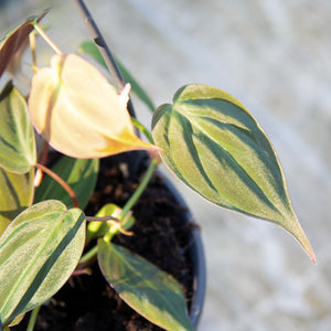 Philodendron Scandens Micans Hanging Pot