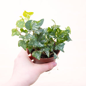 Hedera 'English Ivy'