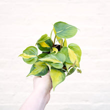 Load image into Gallery viewer, Philodendron Scandens 'Brasil'