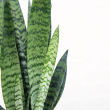 Load image into Gallery viewer, Sansevieria Zeylanica 'Snake Plant'